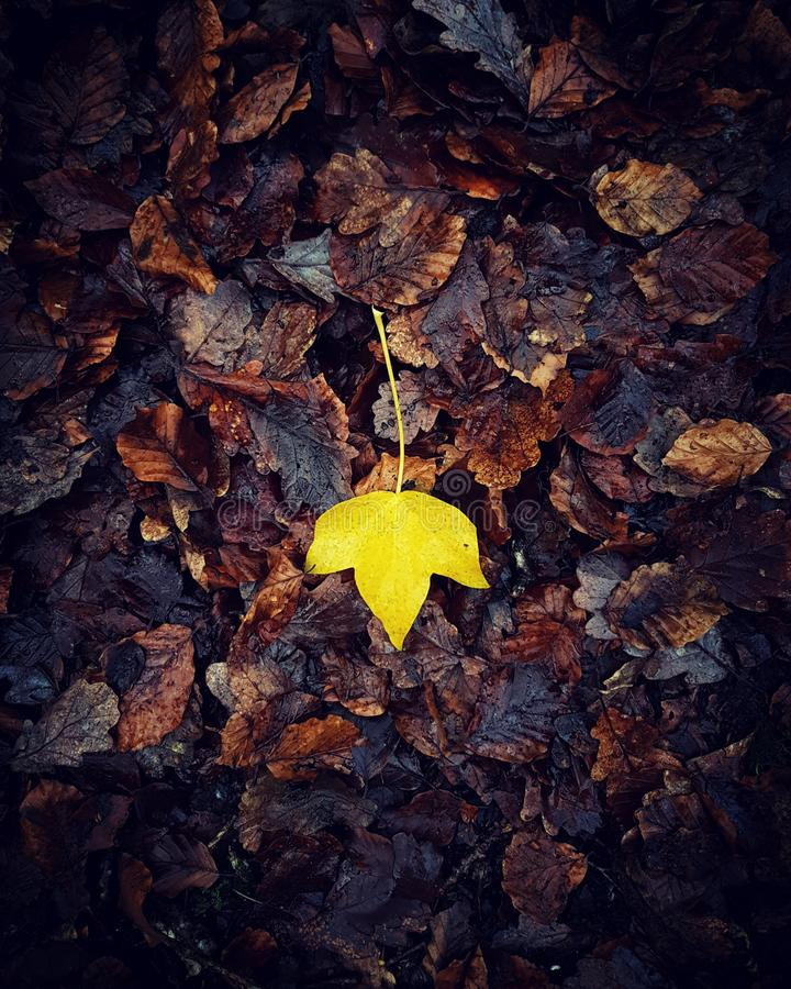 Single yellow leaf on brown decaying leaves in the Autumn stock images