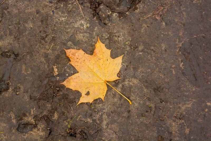 Single yellow maple autumn leaf on ground royalty free stock image