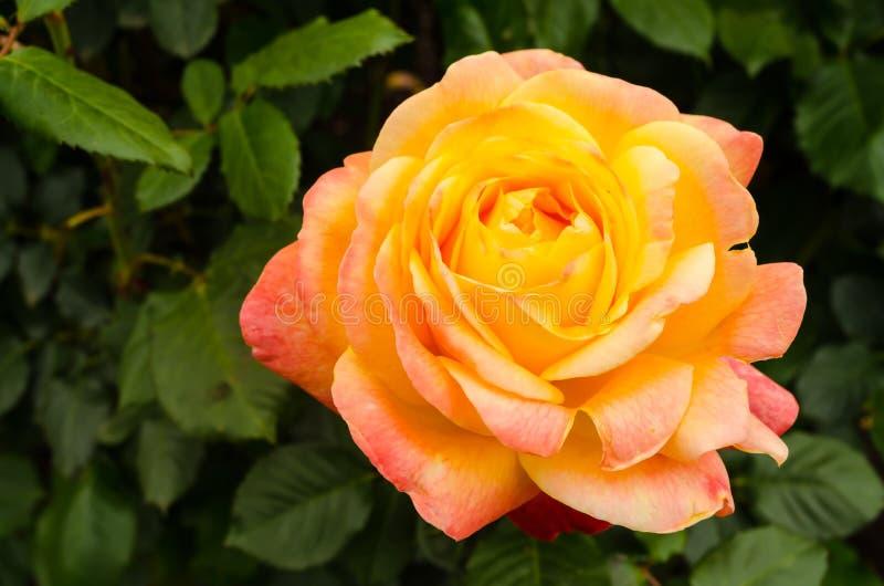 Single Yellow Orange Blooming Rose stock image