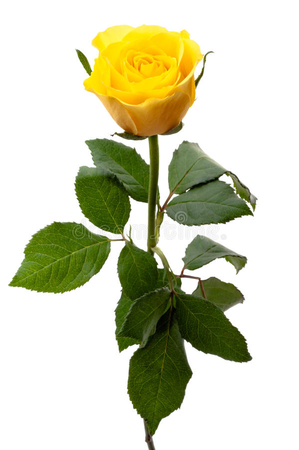 Single yellow rose royalty free stock photos