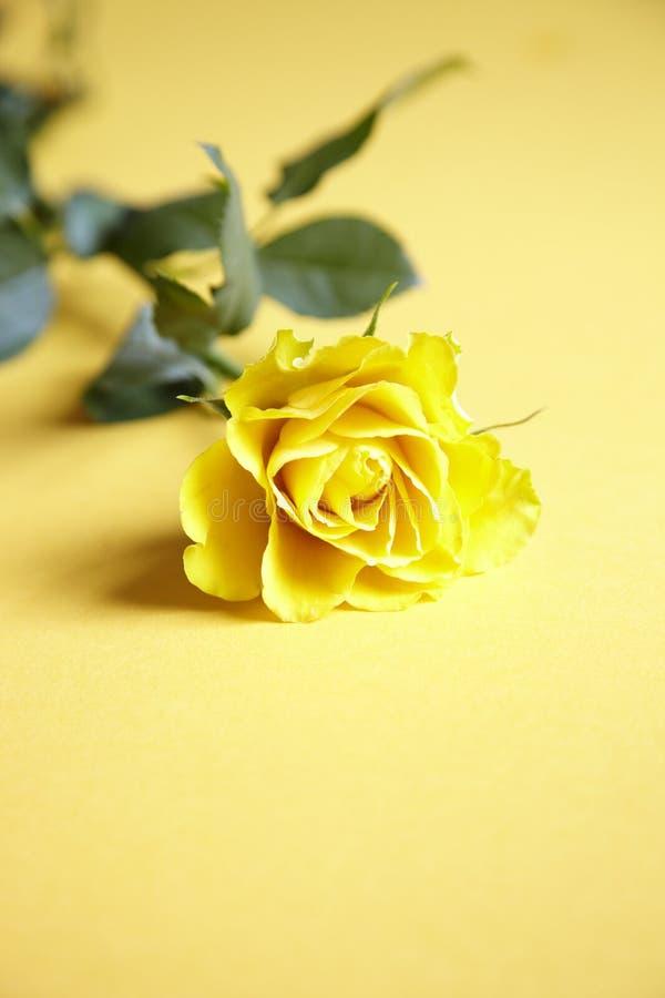 Download Single yellow rose stock image. Image of single, beautiful - 24979723