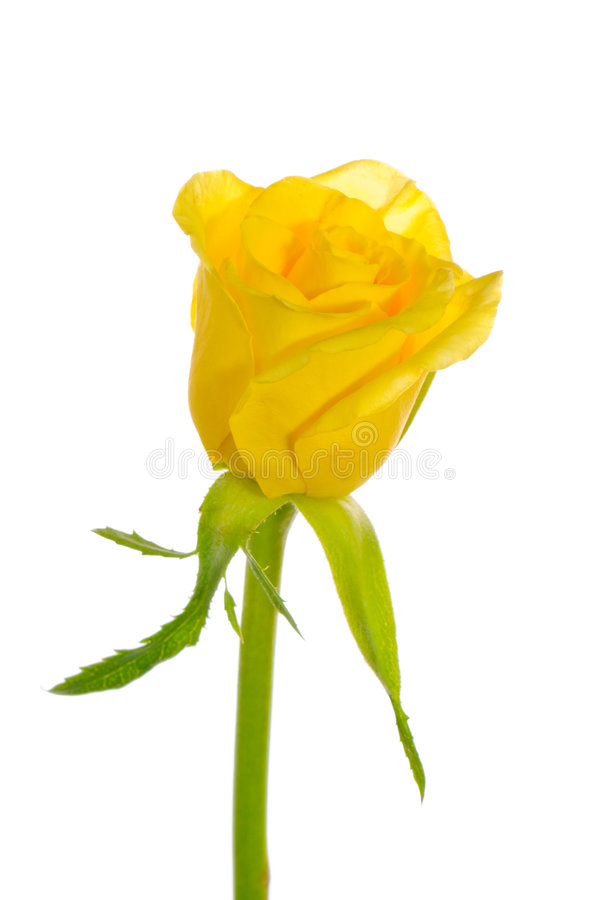 Single Yellow Rose stock images