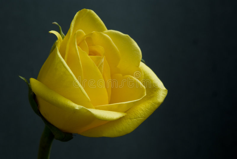 Download Single Yellow Rose On Black Background In Sunlight Royalty Free Stock Image - Image: 8193026