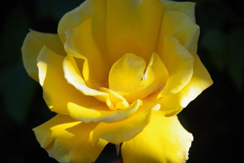 Single Yellow Rose. A Single yellow rose with dark background. Bright yellow, fully open royalty free stock photography
