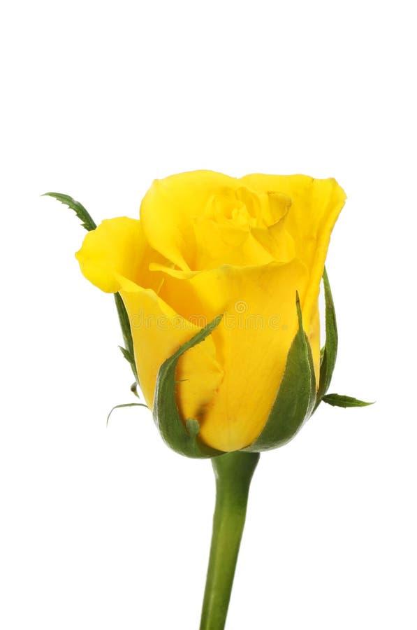 Single yellow rose royalty free stock image