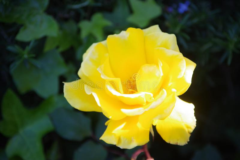 Single Yellow Rose. A Single yellow rose with Ivy in the background. Bright yellow, fully open royalty free stock photo