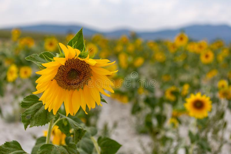 Single yellow sunflower in nature with a field of defocused sunflowers in the background. Shallow DOF. royalty free stock photo