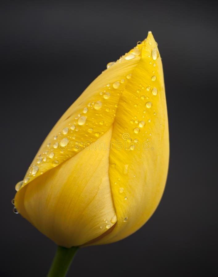Yellow tulip with water droplets on petals royalty free stock image