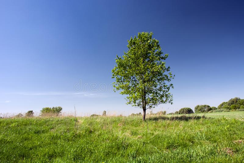 Young Tree On Meadow Stock Photo. Image Of Flower, Blue