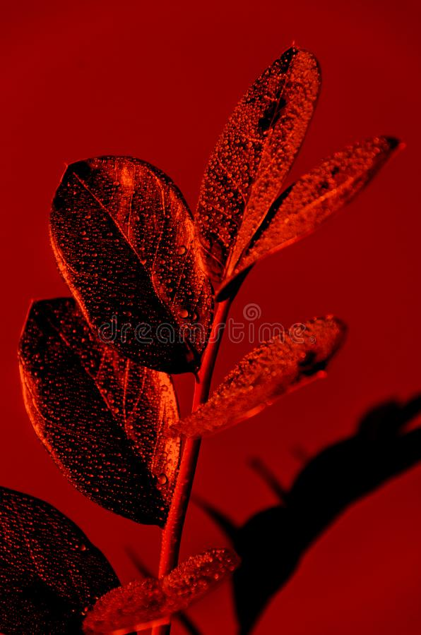 Single Zamioculcas branch in vibrant bold colors on a red background. Concept art. Minimal surrealism. Close-up. Zamioculcas leaf with drops of water. Single stock photos