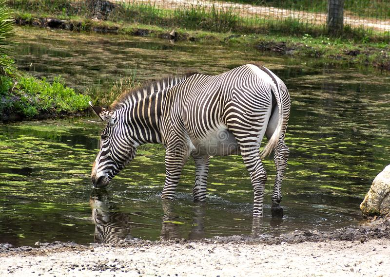 Single zebra Equus quagga drinking water stock photo