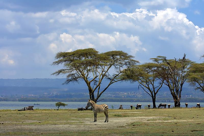 Single Zebra standing , many wildebeests , lake , hill & trees on background royalty free stock photography