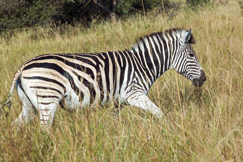 Single Zebra in Tall Winter Grass in Nature Reserve. In South Africa royalty free stock photos