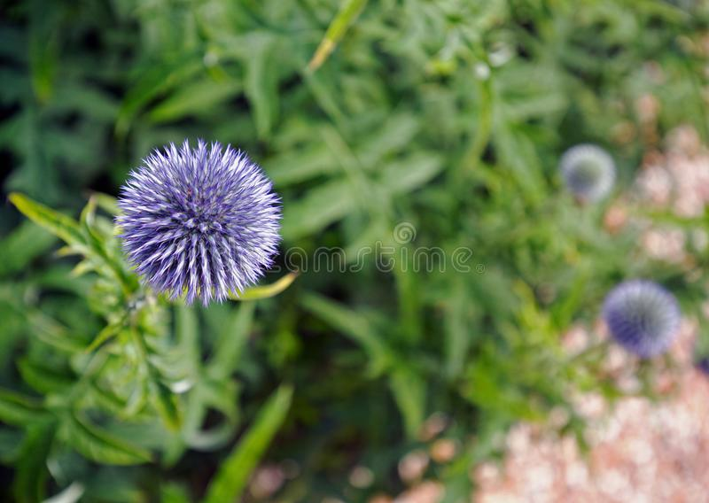 Singler-Stamm Echinops gegen einen unscharfen Gartenhintergrund in voller Blüte stockfoto