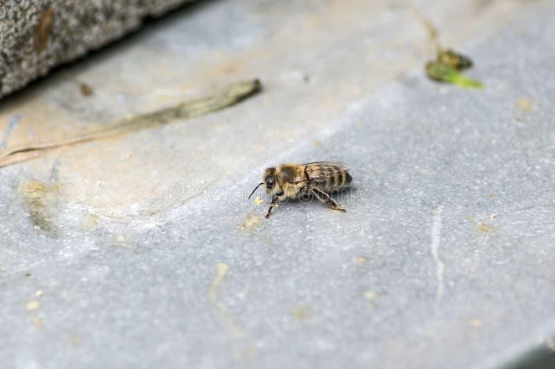 Singola ape del miele che si siede su un grey nel sottosuolo fotografia stock libera da diritti