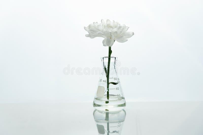 Singola boccetta di vetro con il fiore bianco in acqua nel fondo bianco genetico del laboratorio di scienza di biotecnologia fotografia stock libera da diritti