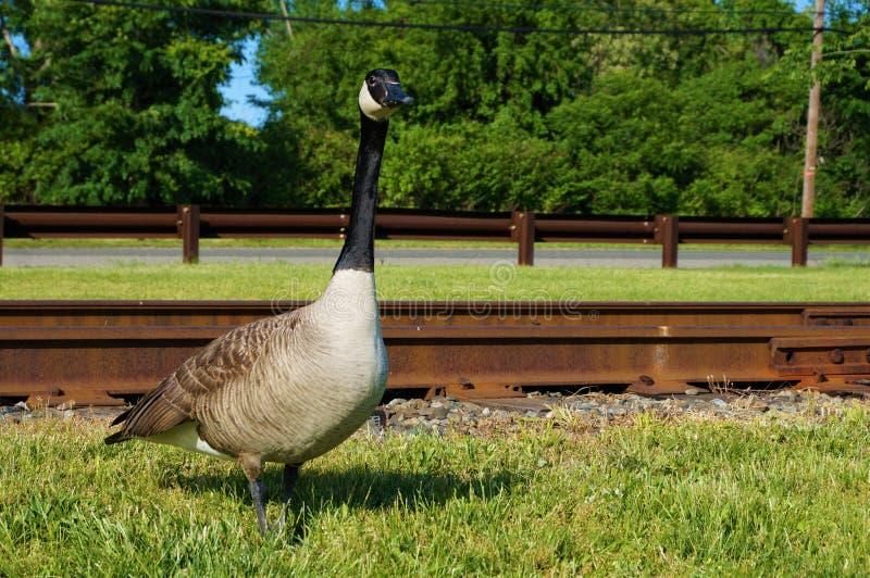 Singola condizione canadese adulta dell'oca nell'erba verde con i binari ferroviari arrugginiti sui precedenti Vista del primo pi immagine stock