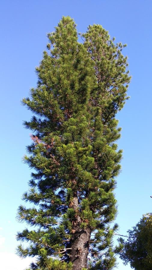 Singola del pino fine alta su fotografie stock libere da diritti
