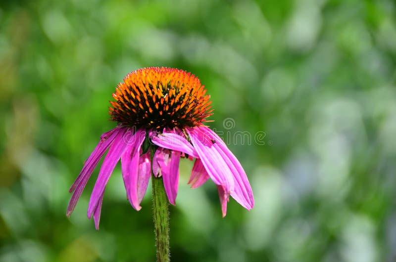 Singola fioritura dell'echinacea del coneflower rosa immagini stock libere da diritti
