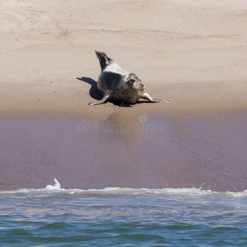 Singola foca della Groenlandia sulla spiaggia fotografia stock libera da diritti