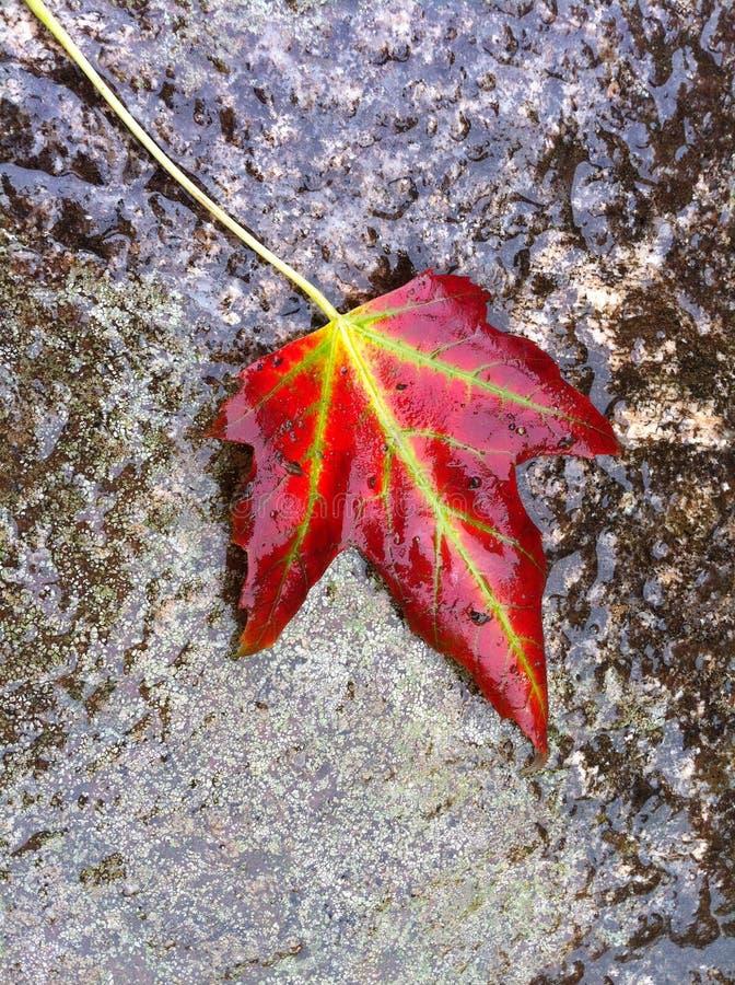 Singola foglia bagnata di autunno, rossa con le vene verdi vibranti, da sopra su roccia di pietra fotografia stock libera da diritti