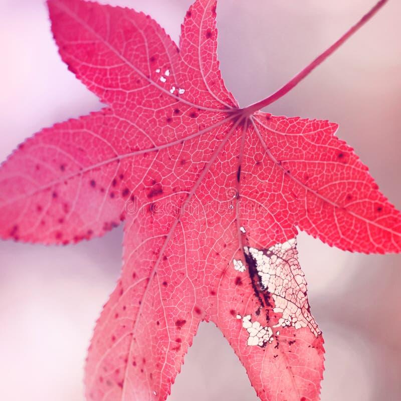 Singola foglia rossa di autunno fotografia stock libera da diritti