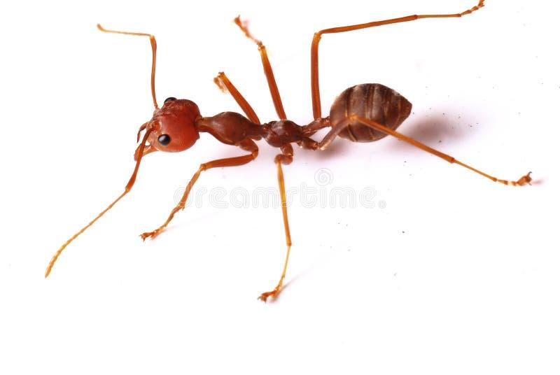 Singola formica rossa immagini stock