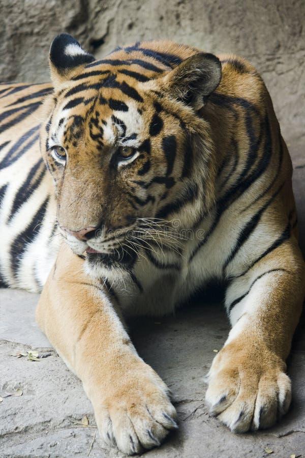 Singola menzogne della tigre di Bengala immagine stock libera da diritti