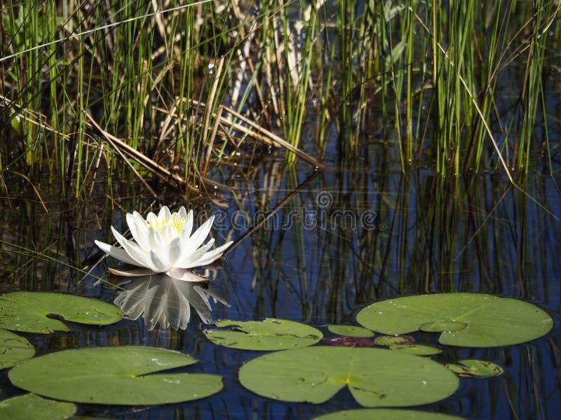 Singola ninfea bianca e riflessione in uno stagno con fogliame e le canne fotografie stock