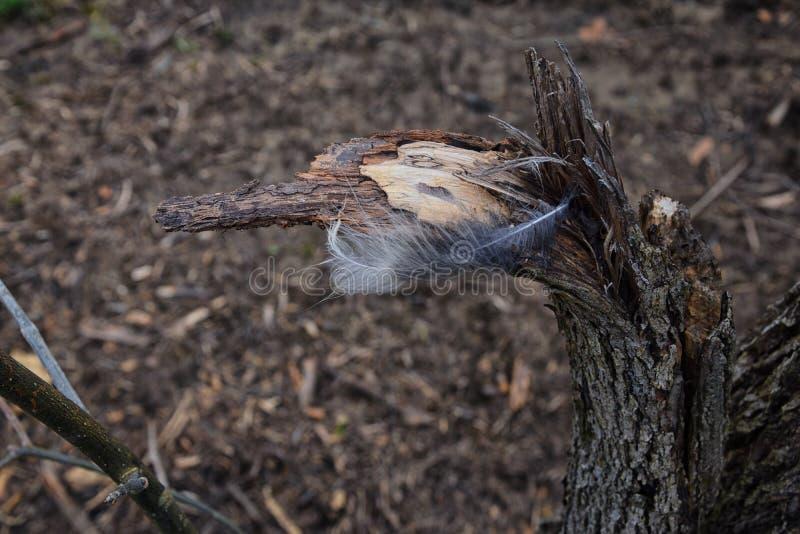Singola piuma che riposa su un ceppo splinted rotto dell'albero rotto lungo Shelby Bottoms Greenway e l'area naturale il fiume Cu immagine stock