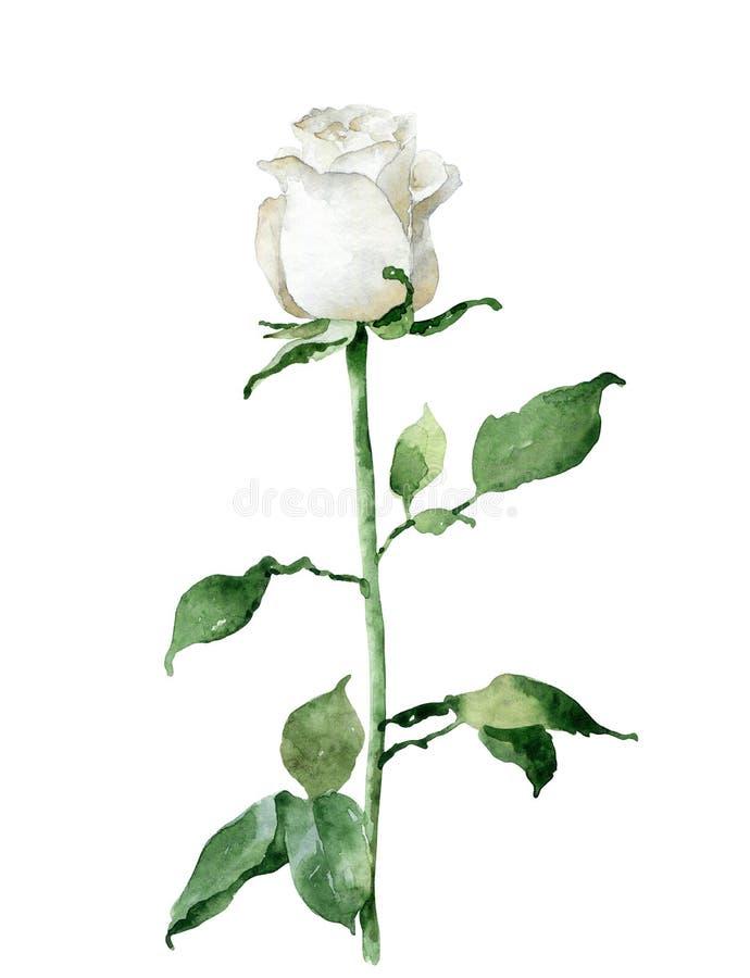 Singola rosa di bianco isolata su fondo bianco royalty illustrazione gratis