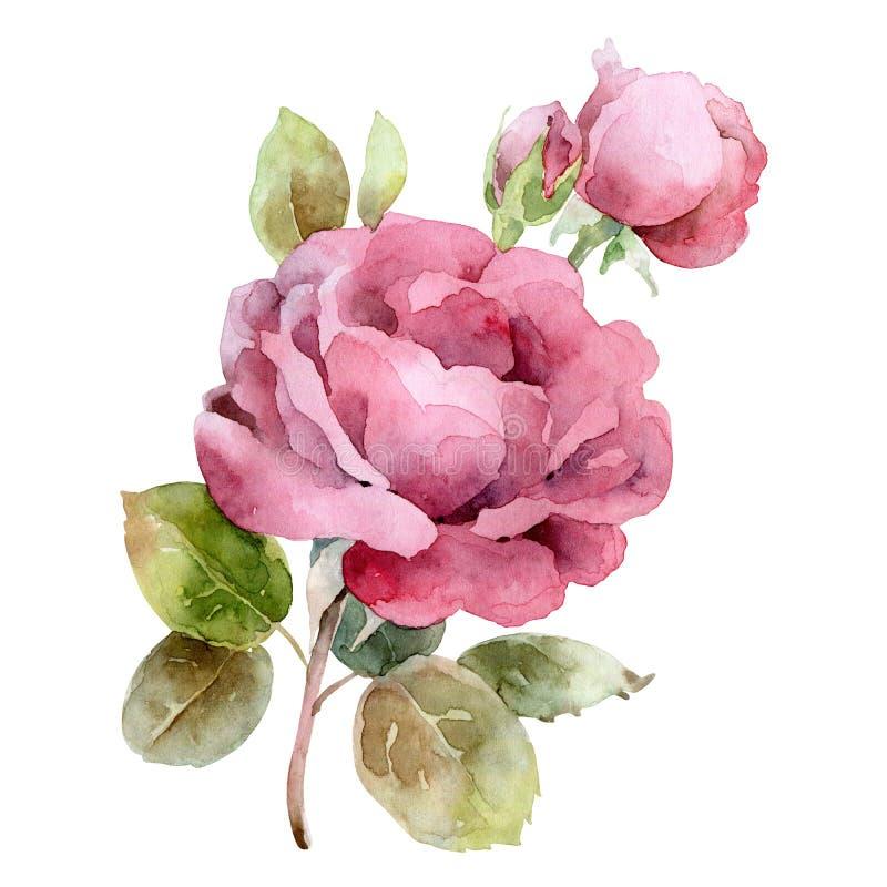 Singola rosa di colore rosa isolata su priorità bassa bianca illustrazione vettoriale