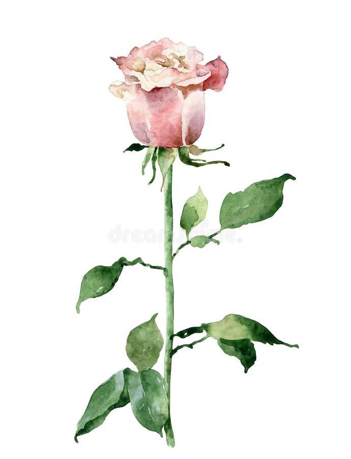 Singola rosa di colore rosa isolata su priorità bassa bianca royalty illustrazione gratis