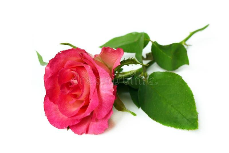 Singola rosa di rosa su fondo bianco immagine stock libera da diritti