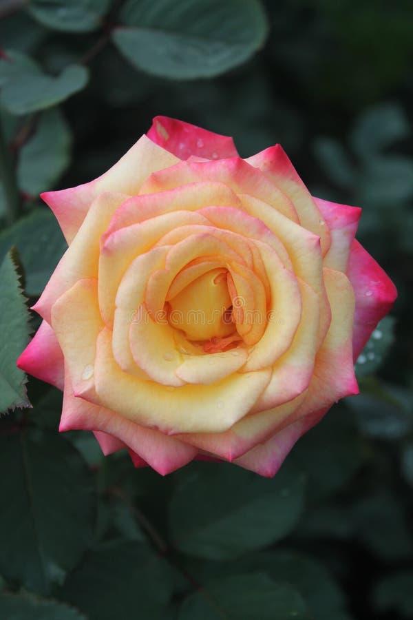 Singola Rosa rossa fotografia stock libera da diritti