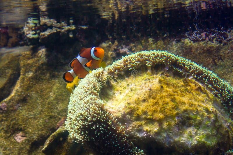 Singola superficie di Fish Swimming Near del pagliaccio di acqua fotografie stock