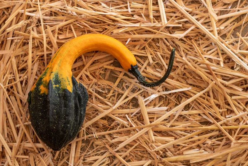 Singola zucca nera, arancio e verde su un letto di paglia, fondo di autunno del raccolto di caduta di ringraziamento di Halloween immagini stock libere da diritti