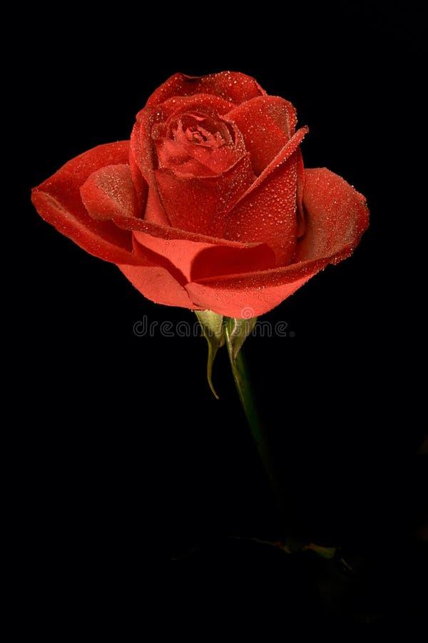 Singole rose del fiore fotografia stock libera da diritti