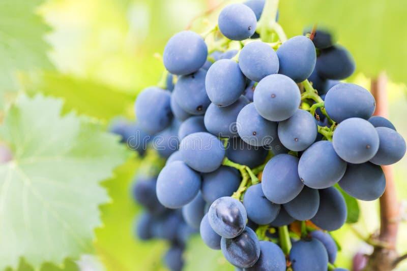 Singole uva da tavola sulla vite Primo piano dei mazzi di acini d'uva maturi sulla vite Uva blu in una vigna fotografie stock