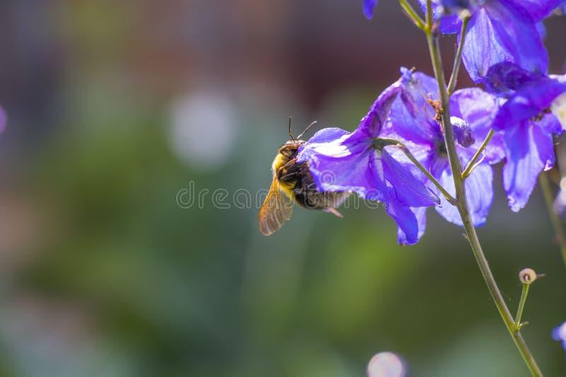 Singoli fiore e ape fotografia stock
