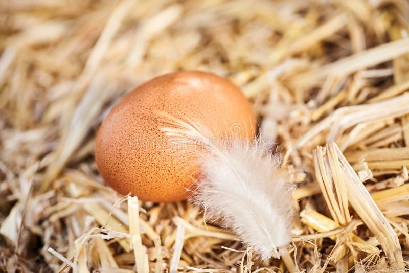 Singoli uovo e piuma di galline marroni macchiati freschi immagine stock libera da diritti