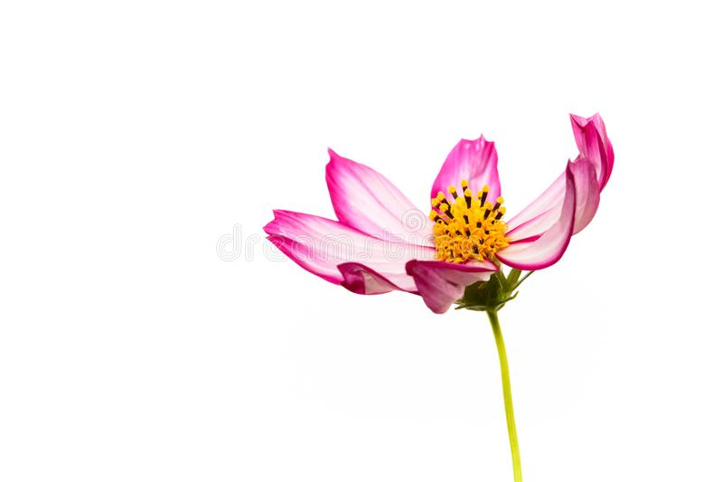 """Singolo  porpora e rosa di Flower†dell'universo del """"Wild del fiore selvaggio immagine stock libera da diritti"""