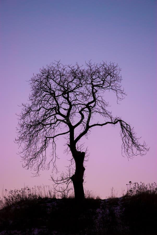 Singolo albero asciutto al tramonto fotografia stock libera da diritti