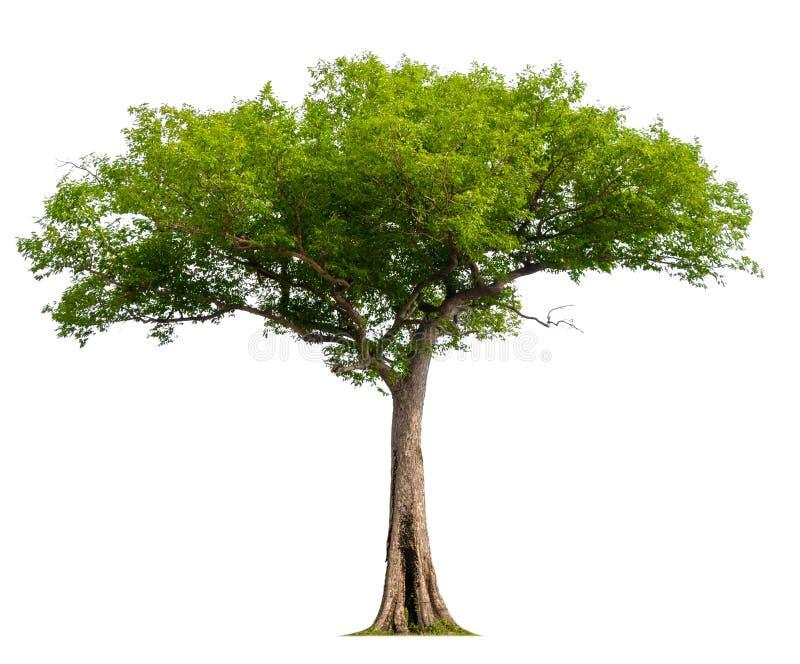Singolo albero con il percorso di ritaglio royalty illustrazione gratis