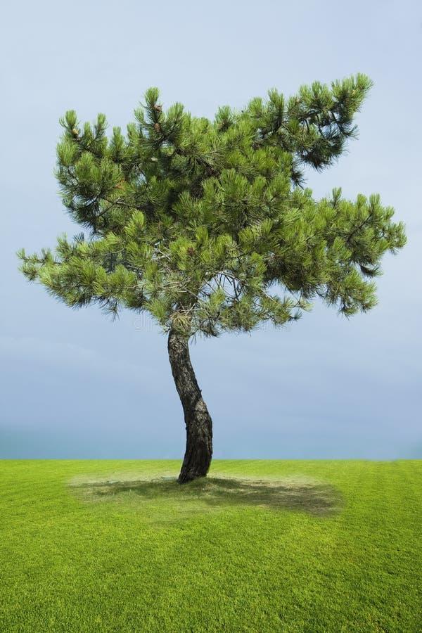 singolo albero del pino fotografia stock libera da diritti