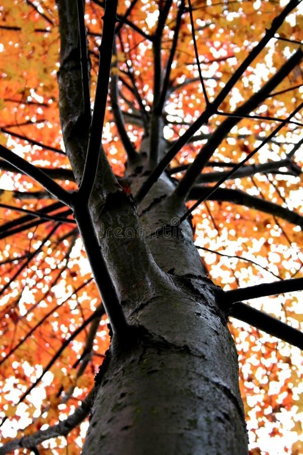 Singolo albero di autunno fotografia stock libera da diritti