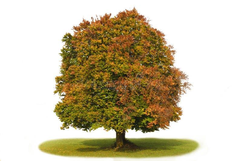 Singolo albero di faggio isolato fotografia stock libera da diritti