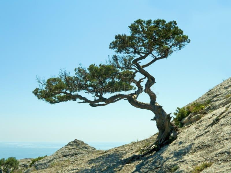 Singolo albero di pino fotografia stock libera da diritti