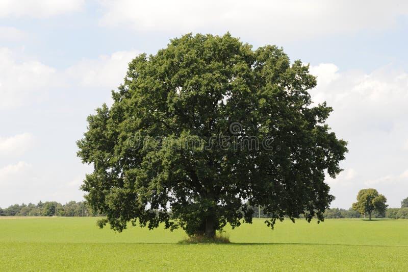 Singolo albero di quercia immagine stock