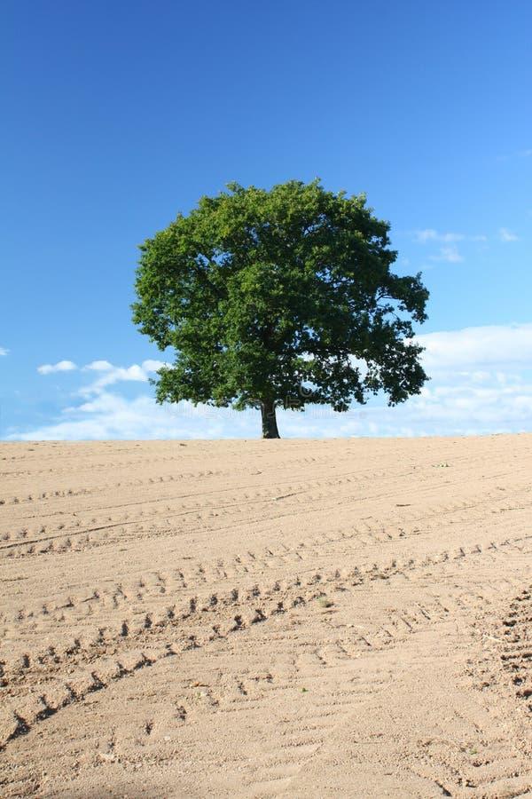 Singolo albero di quercia fotografia stock